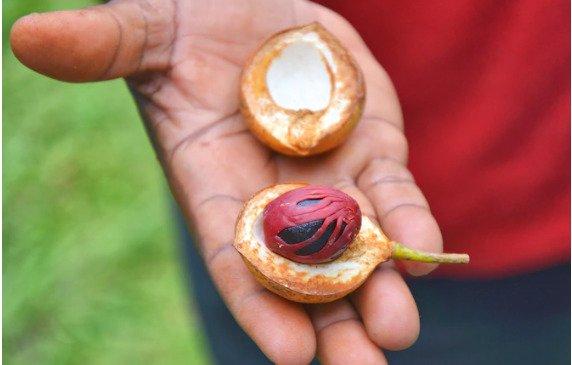 Мускатный орех из Индонезии — король выразительного вкуса